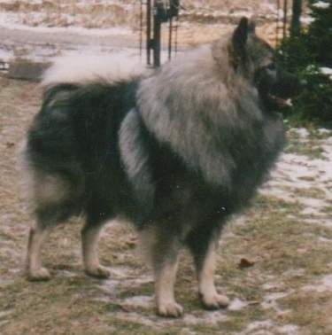 A Keeshond is standing in grass and patches of snow with a chain link fence behind it.