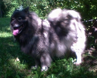 A panting Keeshond is standing in grass under the shade of a tree.