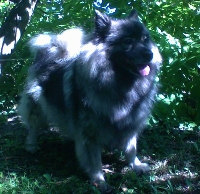 A panting Keeshond is standing in grass under the shade of a tree and in front of bushes.