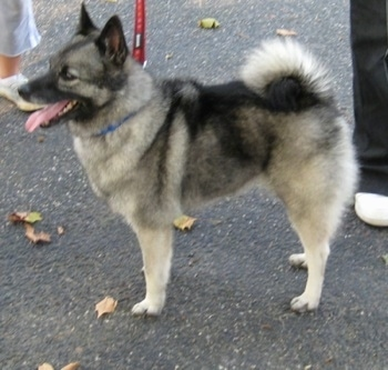 The left side of a black, grey and white Norwegian Elkhound standing on a blacktop surface looking to the left panting.
