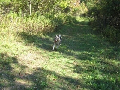 A black, grey and white Norwegian Elkhound is running across a grassy path in the woods.