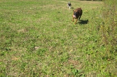 A black, grey and white Norwegian Elkhound is running behind a brindle Boxer that is running across a field.
