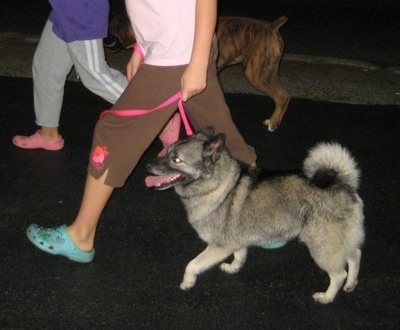The right side of a black, grey and white Norwegian Elkhound that is being led on a walk across a blacktop surface by a person in a pink shirt. Behind them is a person in a purple shirt leading a brindle Boxer on a walk.