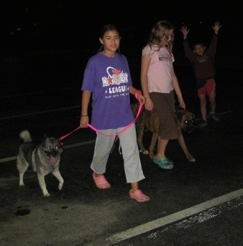 A girl in a purple shirt and a girl in a pink shirt are leading a black, grey and white Norwegian Elkhound and a brindle Boxer on a walk across a parking lot. To the right of them is a boy with his arms in the air.