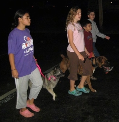 Two girls and Two boys are leading a black, grey and white Norwegian Elkhound and a brindle Boxer on a walk across a parking lot.