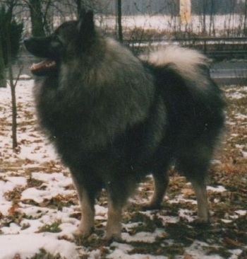 A Keeshond is standing outside in patchy snow. There is a road behind it.