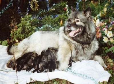 A Keeshond is laying on a blanket outside in front of a tree with a litter of nursing puppies.