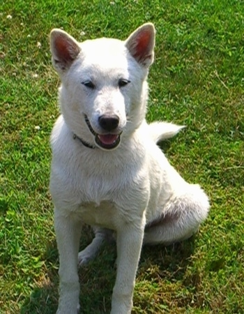 Tarot the Kishu Ken as a puppy.
