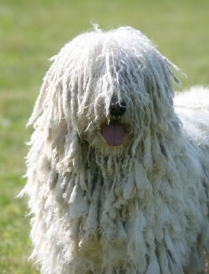 Close Up upper body shot - A white Corded Komondor is standing in grass and Its mouth is open and tongue is out