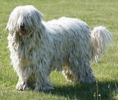 A white Corded Komondor is standing in a grassy field. Its mouth is open and its tongue is out