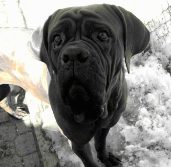 A black and white photo of a Korean Dosa Mastiff with its front paws in snow and its back paws on a shoveled walkway.