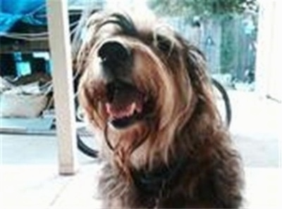 Close Up  front view had shot - A long-haired wiry looking black, gray and tan Lab'Aireis sitting on a porch, its mouth is open