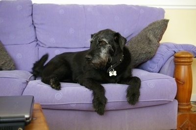 A graying wiry looking black with white Lab'Aire is laying on a purple couch. It is looking to the left. Its front paws are hanging over the edge