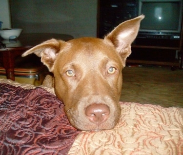 Sheba is a 1 year old Chocolate Lab / Pittbull mix.
