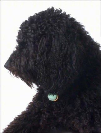 Left Profile upper body shot - A wavy-coated black Labradoodle is sitting on a composited white backdrop
