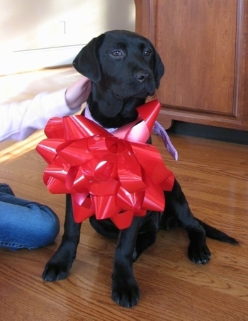A black Labrador Retriever is sitting on a floor and it is wearing a big red bow that is  half the size of the dog itself. There is a person touching the back of its head