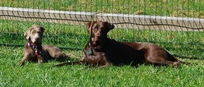 A chocolate Labrador Retriever is laying outside in front of a fence next to a silver Labrador Retriever puppy
