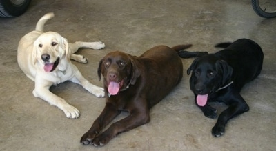Three dogs laying down on concrete, a black Lab, chocolate lab and a yellow Labrador Retriever are laying in a garage. There mouths are open and tongues are out.