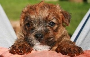 Close Up - A brown Lucas Terrier puppy is laying on the stomach of a person outside