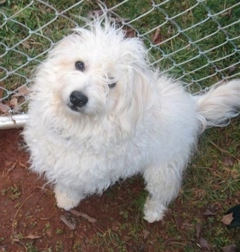 This is Caesar the Bishon Frise/Pomeranian/Coton de Tulear at 9 months old.