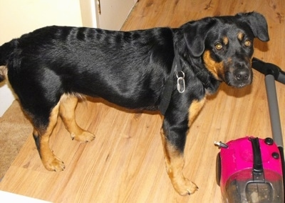 German Sheprador Dog Breed Information And Pictures