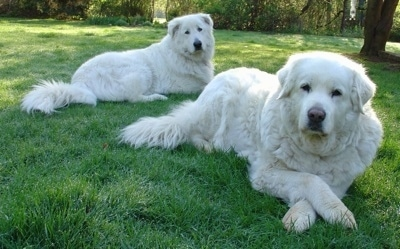 Maremma Guardian Dogs