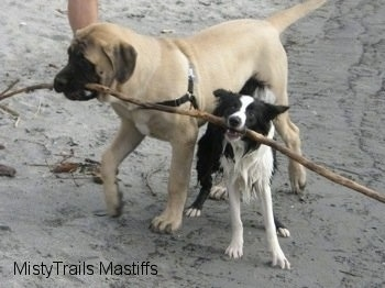 Saul the Mastiff Puppy sharing a stick with another dog on the beach