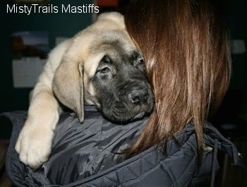 Close Up - Saul the Mastiff Puppy on a persons shoulder