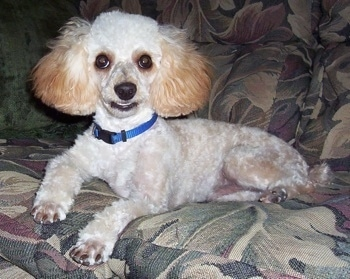 A white with tan Miniature Poodle is wearing a blue collar laying on a green floral print couch with one of its paws hanging over the front edge.