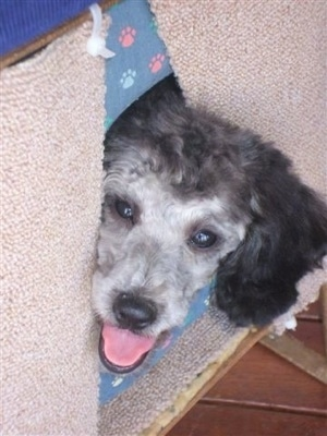 Close up head shot - A happy looking black and grey Miniature Poodle dog is sticking its head through a doggie door. Its mouth is open and tongue is out.