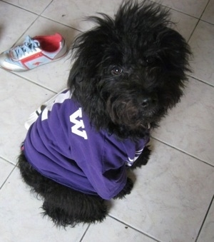 A long wavy-coated black Miniature Aussiepoo is wearing a purple jersey with a white, light blue and red sneaker behind it.