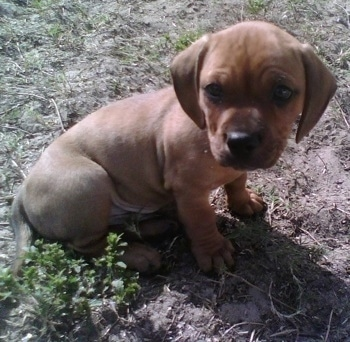 Miniature English Bulldach Dog Breed Information and Pictures