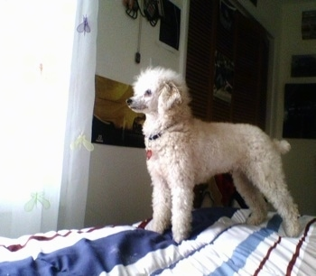 An apricot Miniature Poodle is standing on a human's bed that has a blue, white and maroon blanket on it and looking out of a sunny window.