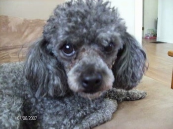 Close Up side view upper body shot - A grey with white Mini Poodle dog is laying on a tan couch looking at the camera