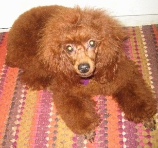 A puffy brown Miniature Poodle is laying on a colorful rug.