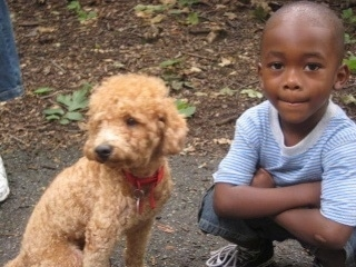 A tan Miniature Poodle dog is sitting outside on a sidewalk next to a boy that is kneeling down.