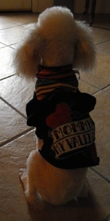 The back of a Miniature Poodle dog who is sitting on a tan tiled floor and wearing a black T-shirt that has the words on the back that read - Mommy's My Valentine