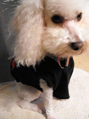 Close up view from the top looking down - A white Miniature Poodle dog is sitting on a dog bed wearing a black t-shirt.
