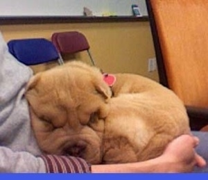 A tan Miniature Shar-Pei puppy is curled up laying in a persons lap in an office.