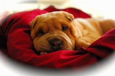 Close up - A wrinkly tan Miniature Shar-Pei puppy is laying down on a red pillow.
