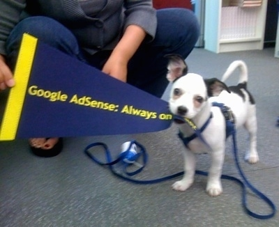 A toy-sized, smooth coated, tricolor, white with black mixed breed dog is standing in an office with the tip of a Google AdSense flag in its mouth.
