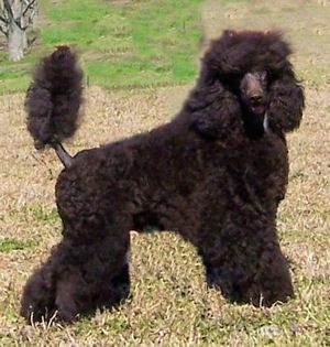 A Klein Poodle is standing in brown grass and looking to the right with its tail up.