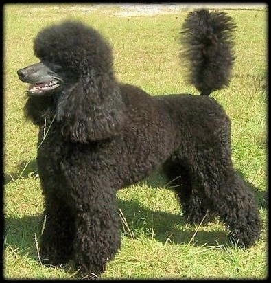 A black Klein Poodle is standing in grass, its mouth is open and tail is up