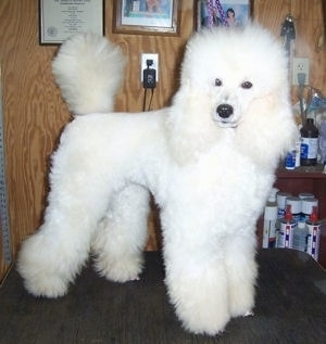 A fluffy white Klein Poodle is standing on a table in a grooming room