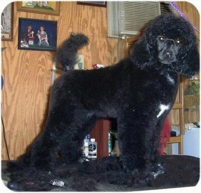 Medium Poodle Dog Breed Information And Pictures