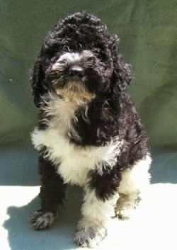 A black with white Klein Poodle is sitting outside and in front of a green backdrop