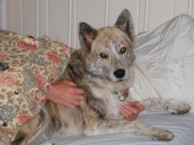 A tan and black brindle Native American Indian Dog is laying on a human's bed and a persons hands are hugging its body.