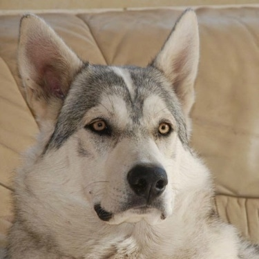 Close up head shot - A grey with black and tan Northern Inuit Dog is laying on a tan leather couch.