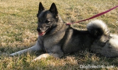Side view - A black with grey Norwegian Elkhound dog is stretched out laying in grass its mouth is open and tongue is out and tail is curled up over its back.