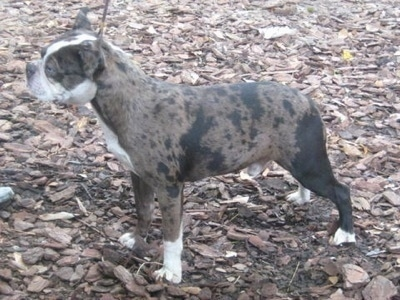 Left Profile - A blue merle with white Olde Boston Bulldogge is standing on wood chips looking to the left.
